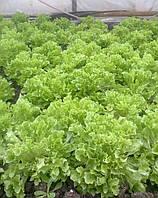 Семена салата Фристина 5грамм Hazera