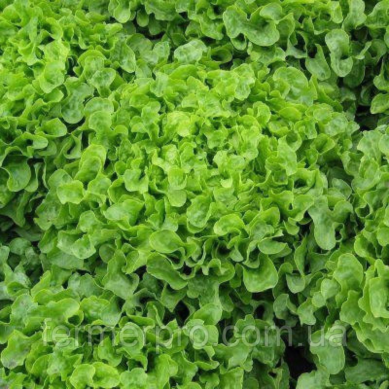 Семена салата Ронали дуболистный тип 1000 семян Hazera
