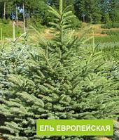 Ель европейская (Picea abies) купить саженцы 5л.