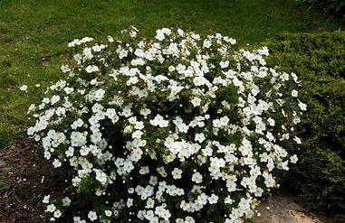 Лапчатка кущова Abbotswood 2 річна, Лапчатка кустарниковая Абботсвуд, Potentilla fruticosa Abbotswood