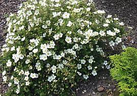 Лапчатка кущова Abbotswood 2 річна, Лапчатка кустарниковая Абботсвуд, Potentilla fruticosa Abbotswood, фото 3