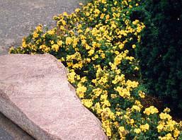 Лапчатка кущова Goldteppich 3 річна, Лапчатка кустарниковая Голдтеппич, Potentilla fruticosa Goldteppich., фото 3
