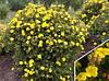 Лапчатка кущова Goldteppich 3 річна, Лапчатка кустарниковая Голдтеппич, Potentilla fruticosa Goldteppich., фото 2