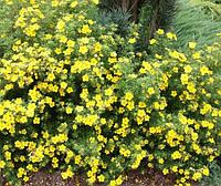 Лапчатка кущова Yellow Bird 3 річна, Лапчатка кустарниковая Еллов Бед, Potentilla fruticosa Yellow Bird.