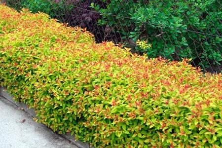 Спірея японська Goldflame 2 річна, Спирея японская Голдфлейм, Spiraea japonica Goldflame, фото 2