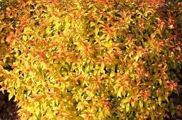 Спірея японська Goldflame 2 річна, Спирея японская Голдфлейм, Spiraea japonica Goldflame, фото 3