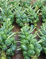 Семена брюссельской капусты Блиллиант F1 2500 семян
