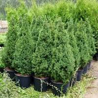 """Саженцы Ели канадская Conica в горшке """"Picea glauca Conica"""" 5л. (50-60см)"""