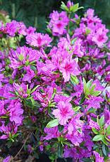 Азалія японська Blue Danube 3 річна, Азалия японская Блю Данубе, Rhododendron /Azalea japonica Blue Danube, фото 2