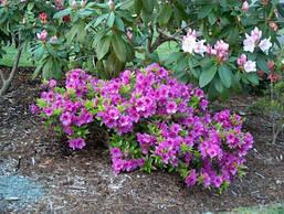 Азалія японська Blue Danube 3 річна, Азалия японская Блю Данубе, Rhododendron /Azalea japonica Blue Danube, фото 3