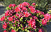 Азалія японська Canzonetta 3 річна, Азалия японская / рододендрон Канзонетта, Azalea japonica Canzonetta, фото 2