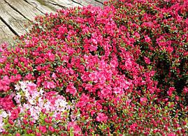 Азалія японська Canzonetta 3 річна, Азалия японская / рододендрон Канзонетта, Azalea japonica Canzonetta, фото 3