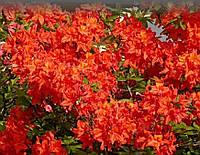 Азалія японська Geisha Orange 3 річна, Азалия японская / рододендрон Гейша Оранж, Azalea japonica Geisha O