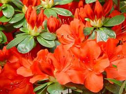 Азалія японська Geisha Orange 4 річна, Азалия японская / рододендрон Гейша Оранж, Azalea japonica Geisha O, фото 3