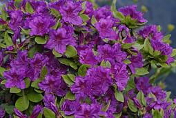 Азалія японська Geisha Purple 3 річна, Азалия японская /рододендрон Гейша Пурпл, Azalea japonica Geisha Purple, фото 2