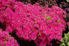 Азалія японська Kermesina 3 річна, Азалия японская / рододендрон Кермесина, Azalea japonica Kermesina, фото 2