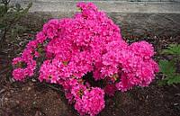 Азалія японська Kermesina 3 річна, Азалия японская / рододендрон Кермесина, Azalea japonica Kermesina