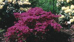 Азалія японська Kermesina 3 річна, Азалия японская / рододендрон Кермесина, Azalea japonica Kermesina, фото 3