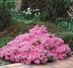 Азалія японська Kermesina Rosea 3 річна, Азалия японская Кермезина Розеа, Azalea japonica Kermesina Rosea, фото 2