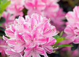 Азалія японська Kermesina Rosea 3 річна, Азалия японская Кермезина Розеа, Azalea japonica Kermesina Rosea, фото 3