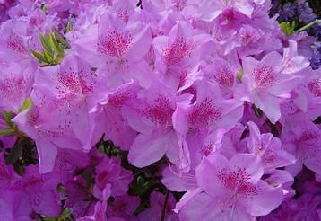 Азалія японська Ledicanense 3 річна, Азалия японская Ледиканенс, Rhododendron / Azalea japonica Ledicanense, фото 2