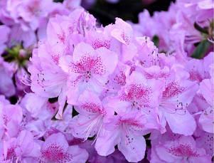 Азалія японська Ledicanense 3 річна, Азалия японская Ледиканенс, Rhododendron / Azalea japonica Ledicanense, фото 3