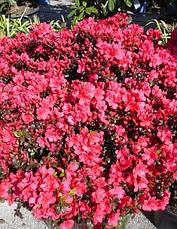 Азалія японська Maruschka 4 річна, Азалия японская / рододендрон Марушка, Azalea japonica Maruschka  , фото 2