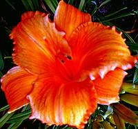 "Лилейник крупноцветковый ""Mауна Лоа"""