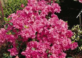 Азалія японська Petticoat 4 річна, Азалия японская /рододендрон Петтикоат, Azalea japonica Petticoat, фото 2