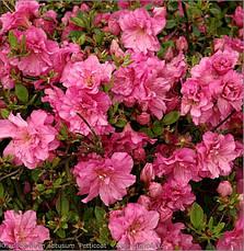 Азалія японська Petticoat 4 річна, Азалия японская /рододендрон Петтикоат, Azalea japonica Petticoat, фото 3