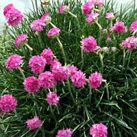 Армерия розовая