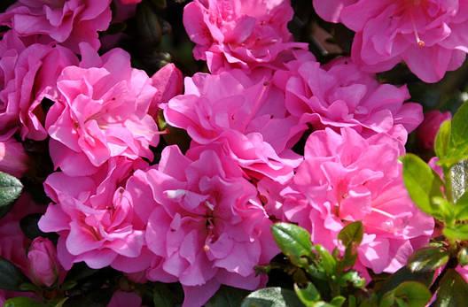Азалія японська Rosinetta 3 річна , Азалия японская /рододендрон Розинетта, Azalea japonica Rosinetta, фото 2