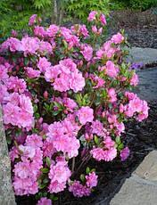 Азалія японська Rosinetta 3 річна , Азалия японская /рододендрон Розинетта, Azalea japonica Rosinetta, фото 3