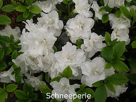 Азалія японська Schneeperle 4 річна, Азалия японская / рододендрон Шниперл, Azalea japonica Schneeperlе, фото 3