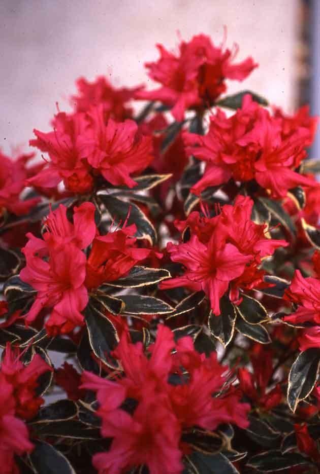 Азалія японська Hot shot Variegata 3 річна, Азалия японская Вариегата, Azalea japonica Hot shot Variega
