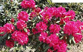 Рододендрон гібридний Nova Zembla 3 річний, Рододендрон гибридный Нова Зембла, Rhododendron Nova Zembla, фото 3