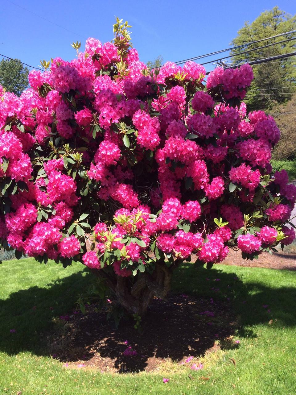 Рододендрон гібридний Nova Zembla 3 річний, Рододендрон гибридный Нова Зембла, Rhododendron Nova Zembla