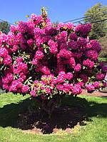 Рододендрон гібридний Nova Zembla 1 рік, Рододендрон гибридный Нова Зембла, Rhododendron Nova Zembla