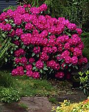 Рододендрон гібридний Nova Zembla 3 річний, Рододендрон гибридный Нова Зембла, Rhododendron Nova Zembla, фото 2
