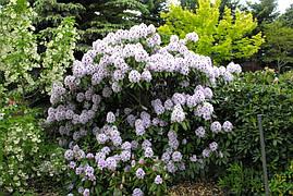 Рододендрон гібридний Calsap-  2 річний, Рододендрон гибридный Калсап, Rhododendron Calsap, фото 3