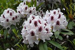 Рододендрон гібридний Calsap 2 річний, Рододендрон гибридный Калсап, Rhododendron Calsap, фото 2
