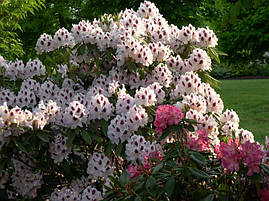 Рододендрон гібридний Calsap-  2 річний, Рододендрон гибридный Калсап, Rhododendron Calsap, фото 2