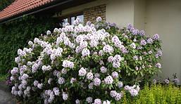 Рододендрон гібридний Calsap 2 річний, Рододендрон гибридный Калсап, Rhododendron Calsap, фото 3