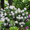 Рододендрон гібридний Calsap-  2 річний, Рододендрон гибридный Калсап, Rhododendron Calsap, фото 4
