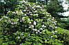 Рододендрон гібридний Calsap-  2 річний, Рододендрон гибридный Калсап, Rhododendron Calsap, фото 5