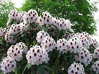 Рододендрон гібридний Calsap 5 річний 45-60см, Рододендрон гибридный Калсап, Rhododendron Calsap