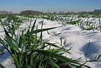 Крупные украинские аграрии увеличивают площади озимых
