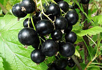 Смородина черная Черешневая (саженцы)