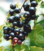 Смородина черная Перун (саженцы)
