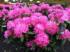 Рододендрон гібридний Roseum Elegans 2 річний, Рододендрон гибридный Розеум Элеганс Rhododendron, фото 2